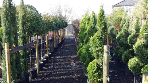 Wholesale Topiary Essex